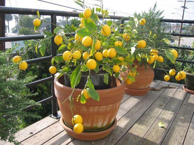 Лимонное дерево очень привлекает мошек