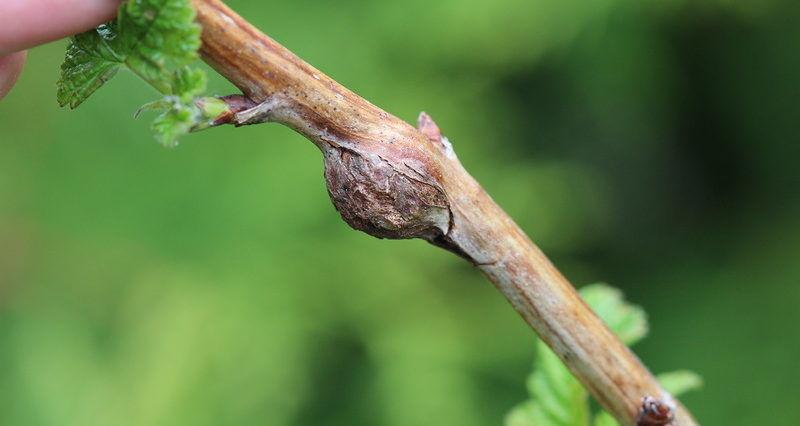 Мошки галлицы отлаживают личинки в побеги малины чем убивают растение