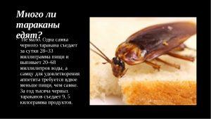 Много ли тараканы едят
