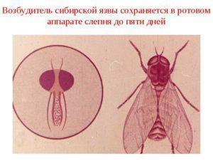 Мошки переносят такие заболевания как сибирская язва