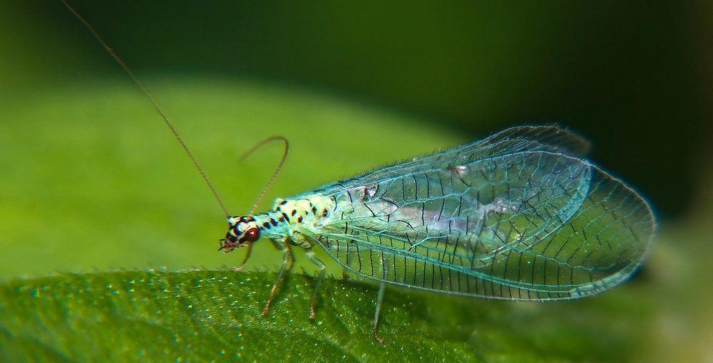 Мошки с прозрачными крыльями могут напасть на человека