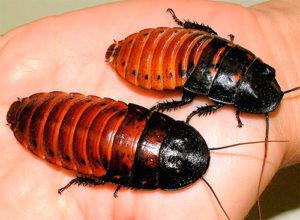 Например у мадагаскарского таракана совсем нет крыльев