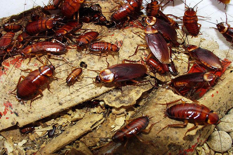 Виды рыжих тараканов