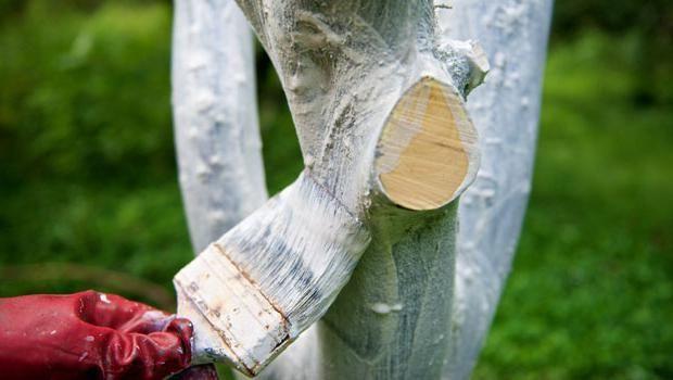 Обработка ствола сливы известью от вредителей