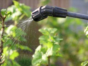 Опрыскивание смородины нужно делать в сухую погоду