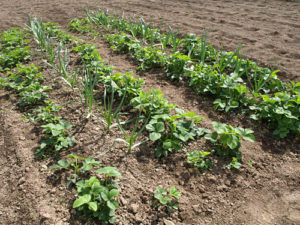 Посадка чеснока между грядками клубники и земляники защитит от вредителей
