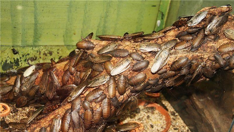 Последнее время очень популярны тараканьи фермы