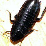 Разновидность тараканов