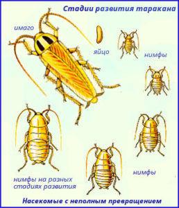 Развитие личинок рыжего таракана