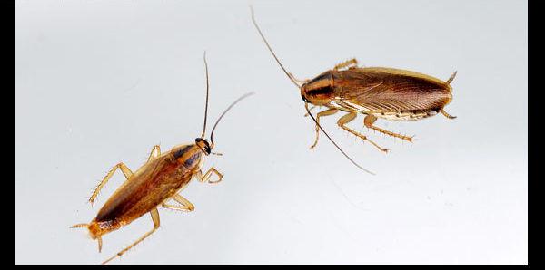 Рыжие тараканы живут исключительно рядом с человеком и не могут выжить в дикой природе