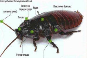 Строение мадагаскарского таракана