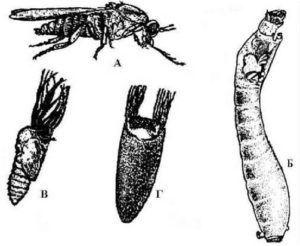 Цикл развития Мошки (Simuliidae) А имаго, Б личинка, В -куколка, Г -куколка в коконе