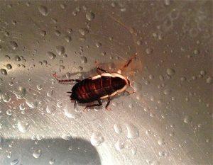 Тараканы без воды могут прожить не более 3 дней