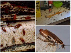 Тараканы едят практически все на своем пути