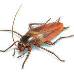 Тараканы их уничтожение