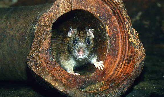 Тараканы контактируют с крысами и перехватывают их инфекции себе