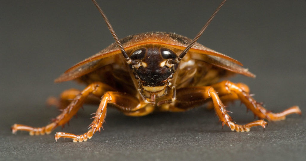 Тараканы опасны для человека