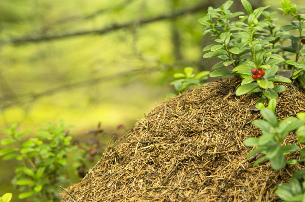 Уничтожаем муравейник для предотврощения появления тли на смородине