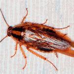 Вид таракана