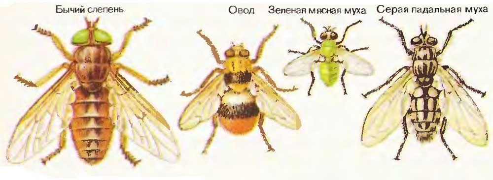 Виды ядовитых мух