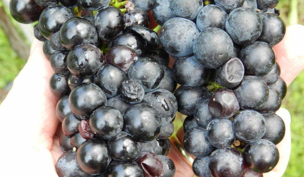 Виноград повреждённый от дрозофила