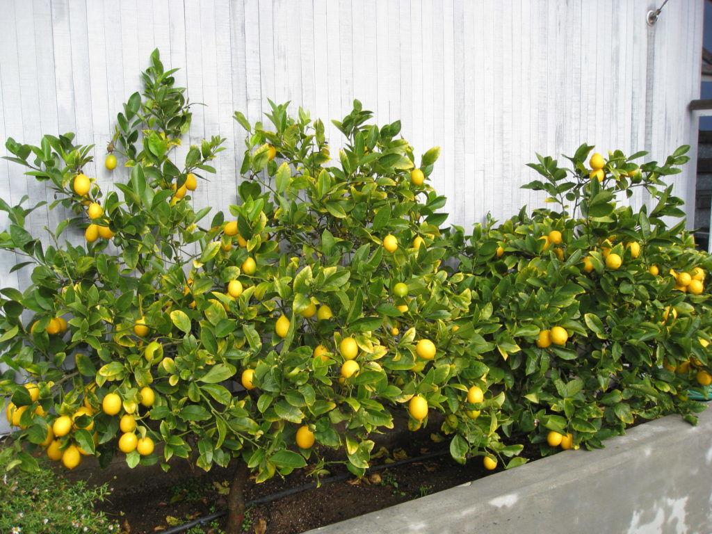 Выращивание лимона отдельно от других растение защитит его от вредителей