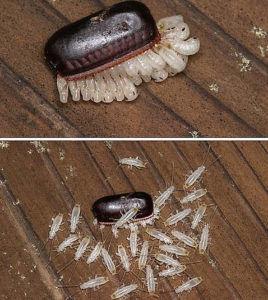 Яйца таракана остаются после использования аквафумигатора