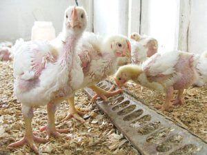 Заболевание цыплят вызванное паразитами