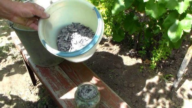 Зола - удобрение для винограда и одновременно защита от вредоносных насекомых