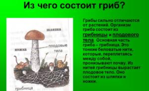 Из чего состоит гриб?