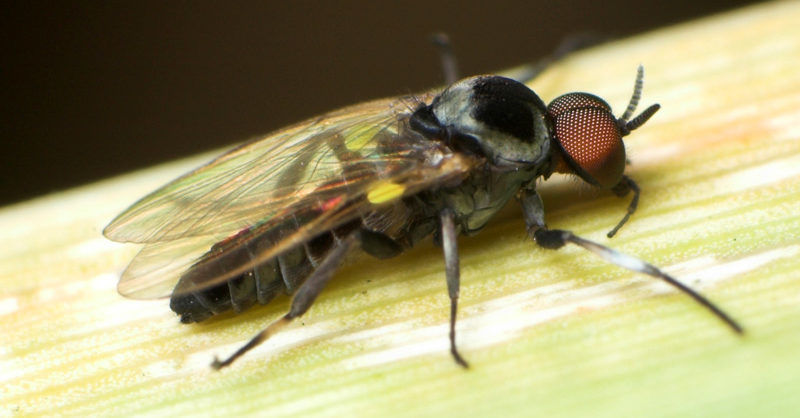 Мошка Simuliidae