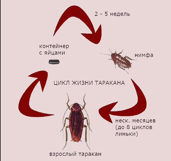 Цикл жизни тараканов