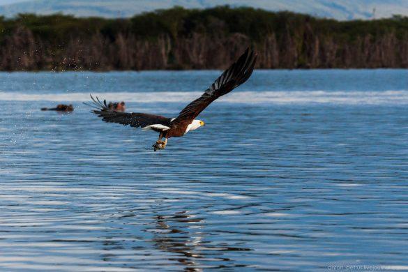 Орлан-крикун на озере Виктория